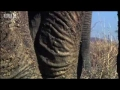 Lion cubs attacked by elephants & alligators - Pride - BBC animals